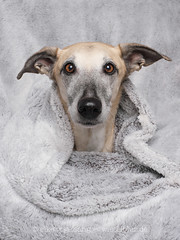 It's stay-on-couch-with-comfy-blanket time (Wieselblitz) Tags: dog dogs dogphotography dogphotographer dogportrait doginthestudio pet pets petphotography petportrait petphotographer blanket cold winter warmblanket dogwithblanket dogwithcomfortableblanket eyecontact
