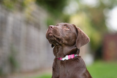 attentive (Paul Wrights Reserved) Tags: dog dogs leadinglines pet pets bokeh