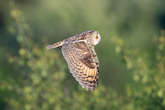 Long Eared Owl (Simon Stobart - Back But Way Behind) Tags: long eared owl asio otus flying north east england uk