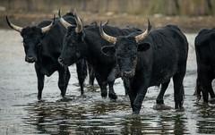 Triple Portrait (MrBlackSun) Tags: black bull camargue nikon d850 france provence