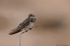 South African Cliff-Swallow (J) (leendert3) Tags: leonmolenaar southafrica krugernationalpark wildlife nature birds southafricancliffswallow coth5