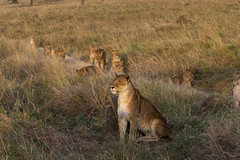 Big Cats on the Mara (johnrobjones) Tags: beyond animal animals cnp cnpsafaris kenya kichwatemba mara masai masaimara safari africa mammals nature wildlife lion lioness male pride cat female