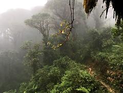 Guacamayos Ridge trail (aka Gumandi trail).  Ecuador. (cbrozek21) Tags: forest cloudforest selva jungle trees fog mist guacamayos gumandi ecuador nature flickrtravelaward