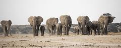 _A110095 (BergsPix) Tags: elephants africa kenya safari amboseli masaai mara samburu tusks mammals