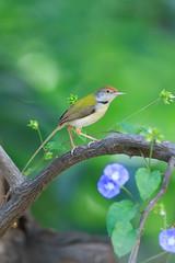 Common Tailorbird (Arvind Manjunath) Tags: arvindmanjunath motofotog