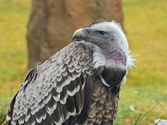 2043ex2 The Look (jjjj56cp) Tags: birds aves vulture closeup beak feathers portrait cincinnatizoo cincinnati oh ohio cincinnatiohio p1000 coolpixp1000 nikoncoolpixp1000 jennypansing ruppellsgriffonvulture