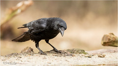 Crow is curious (Gertj123) Tags: bokeh birds black beak spring sigma120300mmf28 canon hide holterberg animal avian arjantroost netherlands nature wildlife