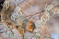 Fox squirrel (Sciurus niger) (rangerbatt) Tags: foxsquirrel squirrel sciurusniger wildutah utahwildlife slatlakecity d7500 sigma150600mmsports