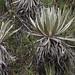Espeletia sp. Ascanio_Colombia 199A3436