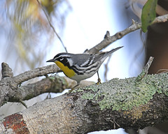 Yellow-throated Warbler (Digital Plume Hunter) Tags: