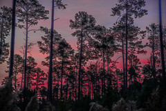 Pines at dawn (ralphlaforge) Tags: dawn pines trees