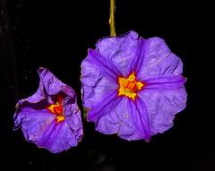 Mas Gemelas.- (angelalonso57) Tags: canon powershot g1 x mark ii 125625mm ƒ160 125 mm 11000 100 alon2018 yellow flora flor flower natura nature explorar explore photo colours