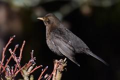 DSC_7982 Merle (sylvettet) Tags: 2019 bird oiseau animal merle noir givre branches blackbird