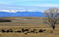 Refuge Bison Herd (Patricia Henschen) Tags: rockymountainarsenal commercecity colorado nationalwildliferefuge denver park prairie bison buffalo herd frontrange mountains