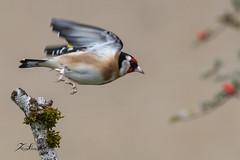 Chardonneret élégant (sfrancois73) Tags: oiseau faune affût chardonneretélégant drinkstation jardin