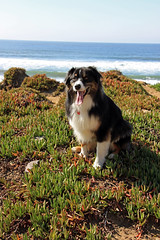 Hello!  My name is Dash! (JB by the Sea) Tags: sanfrancisco california october2018 fortfunston australianshepherd aussieshepherd aussie dog dash