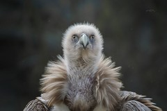 Aufmerksamer Beobachter (THW-Berlin) Tags: gänsegeier griffon birds vögel animals portraits sony alpha77m2
