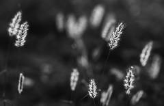 Luminous Dancers (AnyMotion) Tags: grassseeds grassamenbacklightgegenlichtmorningmorgen2018anymotionlake lagariaflycatcher tented campzeltcampndutu masek lake areangorongoro conservation area tanzania tansania africa afrika plants pflanzen travel reisen nature natur 7d2 canoneos7dmarkii bw blackandwhite sw