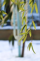Hanging (haberlea) Tags: garden mygarden snow winter bamboo hanging washingline blue white