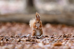 Woodland Encounter (DanRansley) Tags: britain brownseaisland danransleyphotography danransleynet england greatbritain sciurusvulgaris uk animal conservation mammal nature redsquirrel rodent wildlife