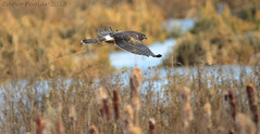 Northern Harrier (Arvo Poolar) Tags: outdoors ontario canada whitby arvopoolar bird nature naturallight natural nikond7000 naturephotography raptor birdofprey inflight northernharrier