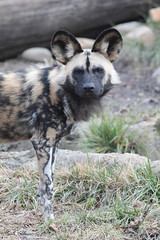 G08A1259.jpg (Mark Dumont) Tags: african dog painted zoo mark dumont mammal cincinnati
