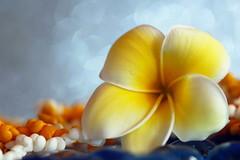 Fleur de Tipanier et couronnes de coquillages de Tahiti (Christian Chene Tahiti) Tags: canon 6d paea tahiti frenchpolynesia polynésiefrançaise pf polynésie holiday plumeria tipanier fleur flower jaune orange fleurdetipanier collier couronne dream rêve vacance macro bokeh bleu blanc shell closer closeup coquillage