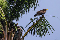 AQUILA AFRICANA    ----    CASSIN'S HAWK-EAGLE (Ezio Donati is ) Tags: uccelli birds animali animals cielo sky alberi trees palmadacocco coccopalm africa costadavorio abidjan