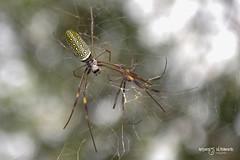 Reflejo Arácnido (Andres Ulibarrie) Tags: reservanatural iguazu argentina araña telaraña reflejo spider spiderweb reflection