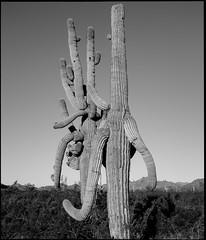 Entanglement (greenschist) Tags: usa desert sonorandesert cacti carnegieagigantea arizona saguaro pinalcounty cactus santanmountainregionalpark