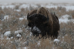 Bison Bull In The Snow (fethers1) Tags: jacksonholewyoming wyomingwildlife grandtetonnationalpark bison bisonbull snow winter wyoming