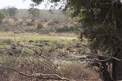Buffalo Herd by the River (Rckr88) Tags: buffalo herd by river buffaloherdbytheriver buffaloes buffalos water rivers riverbank animals animal greenery green krugernationalpark southafrica kruger national park south africa nature naturalworld outdoors wilderness wildlife