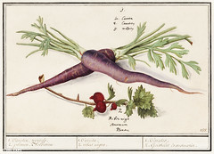 Carrot and red currant in vintage style (Free Public Domain Illustrations by rawpixel) Tags: agricultural agriculture anselmusdeboodt antique art arts artwork berries berry carrot cc0 colorful country creativecommons0 cultivation decor decoration diet drawing farm farming food fresh fruit garden harvest healthy historic historical history illustration ingredient kitchen market name organic poster produce publicdomain purple red redcurrant retro rustic summer vegetable vegetables vintage