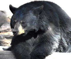 Big bear (thomasgorman1) Tags: bear portrait arizona bearizona park wildlife zoo animal az nikon furry