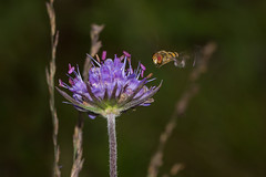 Incoming (Mark Wasteney) Tags: happyflydayfriday hfdf fly diptera insects fauna flower flora nature closeup wildlife