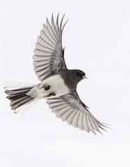 Junco (Diane Marshman) Tags: junco small bird dark gray head body wings white chest breast spread flight flying action motion winter pa pennsylvania nature wildlife