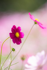 go on your own way (hitohira_) Tags: flower flowers nature bokeh cosmos