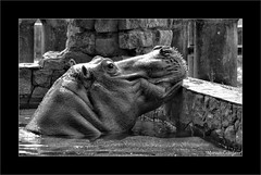 Hippopotamus Amphibius Foto Marcus Cabaleiro Site: https://marcuscabaleirophoto.wixsite.com/photos Blog: http://marcuscabaleiro.blogspot.com.br/ #muscabaleiro #hippopotamusamphibius #brasil #mono #fotografia #arte #brazil #monocolor #photography #photogra (marcuscabaleiro4) Tags: cinquentatonsdecinza brazil monocolor hippopotamusamphibius black mamífero brasil fotografia contraste arte mono nikon pb olhar white blackandwhite bw monochrome photographer tonsdecinza photography muscabaleiro
