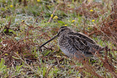 Snipe Titchwell RSPB 1 (JohnMannPhoto) Tags: snipe titchwell rspb