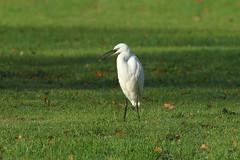 IMG_5803 (superbradphotos) Tags: superbrad superbradphotos ianbradley derbyshire little egret