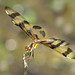 I am thankful for dragonflies ...