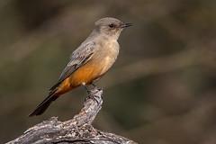 Say's Phoebe (Eric Gofreed) Tags: arizona mybackyard phoebe saysphoebe sedona villageofoakcreek yavapaicounty
