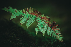 Fern Grass (HeiJoWa) Tags: alpha 6000 sony 7artisans 14 55mm closeup macro makro wald forest farn fern grass gras woods green grün saarland herrnergal bokeh blurry unscharf dark düster natur nature primelens china festbrennweite