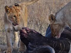Sooo Tender (Everyday Glory!!!) Tags: masaimara africa kenya safari gamedrive mara wildlife wild maasaimara maasai africanbuffalo buffalo capebuffalo