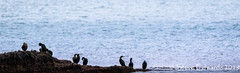 A Watchfulness of Shags (pootlepod) Tags: canon steve edwards steveedwards seabirds sea birds wildlife ocean shags watching resting torbay devon england rspb natural nature raw southwest winter