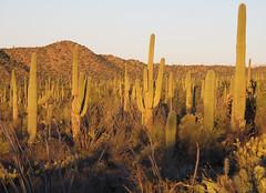 Saguaro Forest (zoniedude1) Tags: arizona sonorandesert landscape cactus saguaronationalpark tucson desertscape saguaros sonorandesertscape saguaroforest desert mountains beauty saguarocactus carnegieagigantea scenic view saguaro az 2760ftelevation serene wildplaces outdoors adventure exploration discovery tucsonmountains pimacounty winter2018 southwest nature canonpowershotg12 pspx19 zoniedude1 earthnaturelife