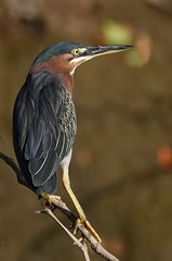 Green Heron (anacm.silva) Tags: greenheron heron garça ave bird wild wildlife nature natureza naturaleza birds aves tárcoles tárcolesriver costarica butoridesvirescens coth coth5