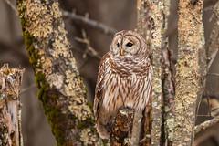 Blue Ridge Barred Owl (rob.wallace) Tags: winter2018shenandoahnationalpark barred owl raptor