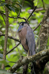 Boat-billed Heron (Greg Lavaty Photography) Tags: boatbilledheron cochleariuscochlearius costarica october tropical tropics neotropical photographytour birdphotography outdoors bird nature wildlife