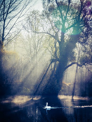 (philippe baumgart) Tags: deutschland taubergiesen taubergiessen swan nature lake river water morning light sun rays mist mood landscape